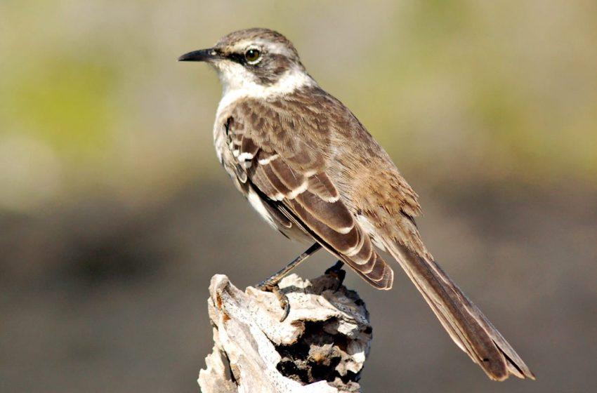 Evolution of a Mockingbird